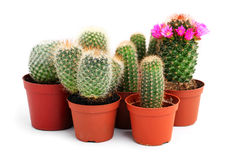 Collection of cactuses in a pot Stock Image