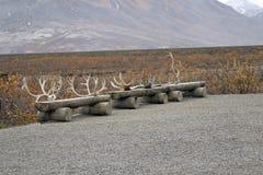 Collection of Caribou Horns Stock Photos