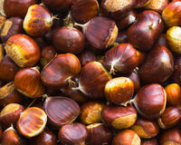 Collection of chestnuts. Lots of sweet chestnuts fresh and ready to roast stock images