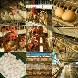 Collection of chicken farm Royalty Free Stock Image