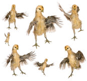Collection of chicks trying to fly Royalty Free Stock Image