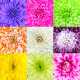Collection of Chrysanthemum Flower Macros. Collection of Nine Chrysanthemum Flower Macros. Nine Square Close-ups of Multi Colored Flowers. High Quality Royalty Free Stock Image