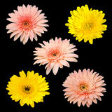 Collection chrysanthemum isolated on black background Royalty Free Stock Image