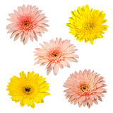Collection chrysanthemum isolated on white background Stock Photography