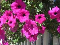 Collection colorée de fleurs roses accrochant au-dessus de la barrière blanche Images stock