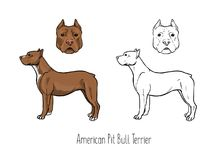 American Pit Bull Terrier, front and side Stock Photo