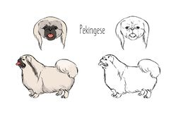 Collection of colored and monochrome contour line drawings of face and full body of Pekingese, front and side views. Small dog of long haired breed, pet animal Royalty Free Stock Image