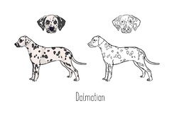 Collection of colored and monochrome line drawings of head and full body of Dalmatian, front and side views. Strong. Companion dog, pet animal with short Stock Photos