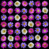 Collection of colorful asters flower isolated Stock Photo