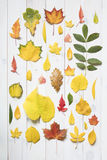 Collection of colorful autumn leafs Royalty Free Stock Photo