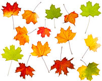 Collection of colorful autumn leaves Stock Photos