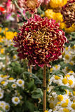 Collection of colorful chrysanthemum flowers Stock Photo