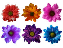 Collection of colorful daisies Stock Photography