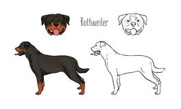 Collection of colorful and monochrome line drawings of head and full body of Rottweiler, front and side views. Powerful. Guard dog of gorgeous short-haired Stock Photography