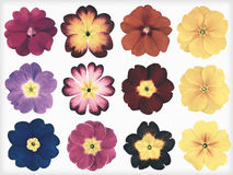 Collection of Colorful Primroses Isolated Retro Vintage Style Royalty Free Stock Photography