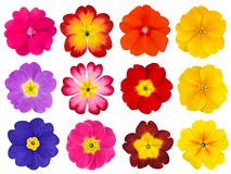 Collection of Colorful Primroses Isolated on White Stock Images