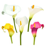 Collection of coloured arum lilies on white. Zantedeschia, calla lily. Collection of coloured arum lilies on white. Vector illustration of white, violet and Stock Photos