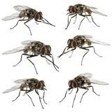Collection of common houseflies , isolated. On white stock photos