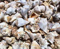 Collection of Conch Shells Stock Image