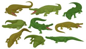 Collection of crocodiles, predatory amphibian animals in different poses vector Illustration on a white background. Collection of crocodiles, predatory amphibian stock illustration