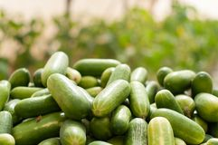 Collection of cucumbers growing in greenhouses in the kibbutz in Israel. Collection of green cucumbers growing in greenhouses in the kibbutz in Israel Stock Photography