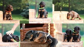 Collection of cute Doberman puppies