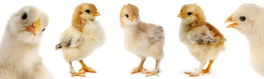 Collection cute furry chicks isolated on white Royalty Free Stock Photo