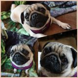 A pug collage royalty free stock photography