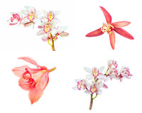 Collection of cymbidium flower orchid close up isolated on white Stock Image
