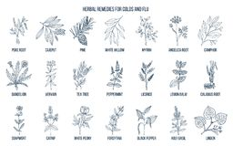 Collection d'herbes naturelles pour des froids et la grippe illustration libre de droits