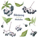 Collection d'illustration d'eldeberries d'aquarelle illustration libre de droits