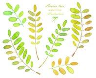 Collection d'illustrations des branches d'arbre d'acacia d'aquarelle Image libre de droits
