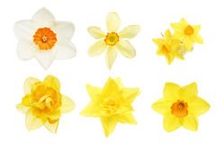Collection of daffodil flowers Stock Images