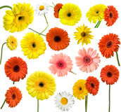 Collection of daisy flower Royalty Free Stock Image