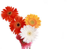 Collection of daisy flowers. Yellow , Red, pink and White daisy flowers together with little right negative space , and isolated against green canvas background Royalty Free Stock Photo