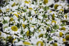 Collection of daisy heads Royalty Free Stock Photos
