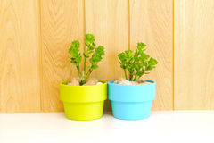 Collection of daisy tree  in  flowerpot Royalty Free Stock Image