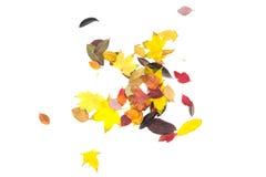 Collection de belles feuilles d'automne colorées d'isolement sur le fond blanc Image libre de droits