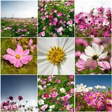 Collection de bipinnatus de cosmos Photographie stock