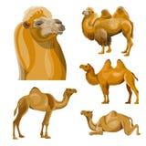 Collection de chameaux de vecteur illustration de vecteur