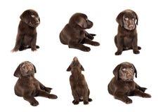 Collection de chiot de Brown Labrador sur le fond blanc Image libre de droits