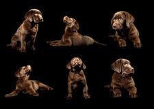 Collection de chiot de Brown Labrador sur le fond noir Photos stock