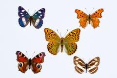 Collection de cinq papillons aux pieds de brosse sur le blanc Photographie stock