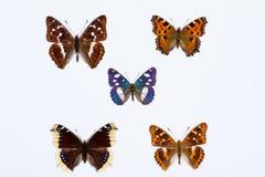 Collection de cinq papillons aux pieds de brosse sur le blanc Image libre de droits