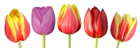 Collection de cinq Tulip Flowers Isolated colorée sur le blanc Image stock