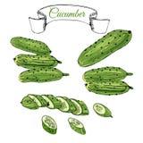 Collection de concombres tirés par la main verts Encre et croquis coloré Éléments entiers et découpés en tranches d'isolement sur illustration de vecteur