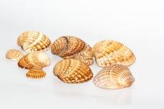 Collection de coquillages Images libres de droits