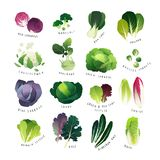 Collection de divers genres de chou et de verts feuillus communs Photographie stock libre de droits