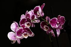 Collection de favori d'amour de fleur de te de ¼ d'Orchidee Blà Image stock