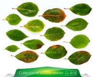 Collection de feuilles lumineuses de vert vif L'ensemble d'été part sur un fond blanc Usines sur le fond blanc d'isolement Photo libre de droits